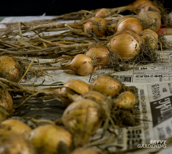 Drying onions for storage after harvest