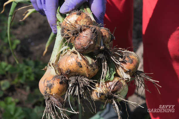 Harvesting, curing, and storing homegrown onions