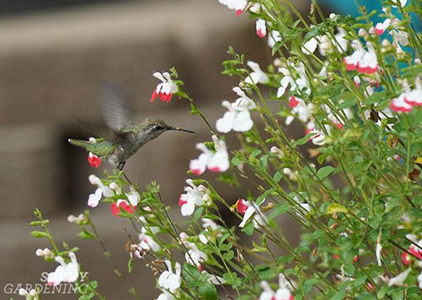 A hummingbird enjoying salvia