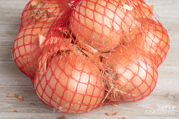 How to store dried and cure onions from the garden