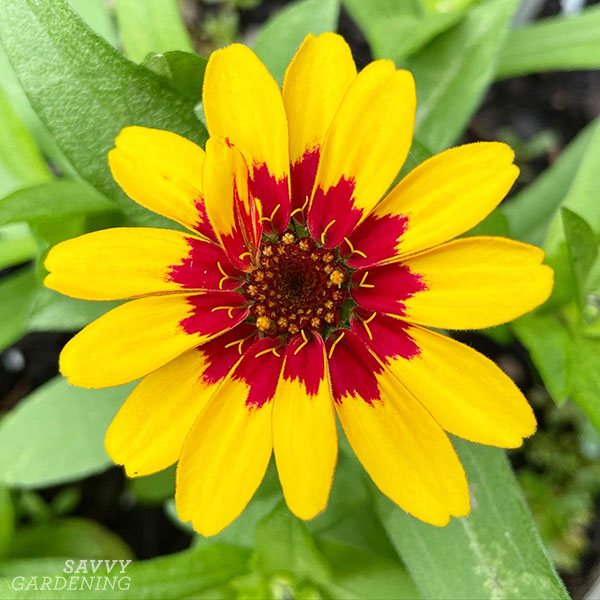 plant zinnias to attract hummingbirds to your garden