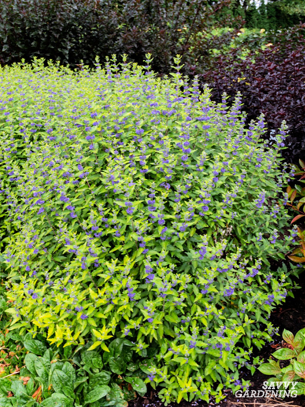 Beekeeper Caryopteris is a great late season shrub