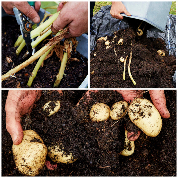 harvesting container potatoes