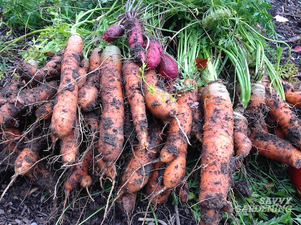 How to know when your carrots are ready for digging