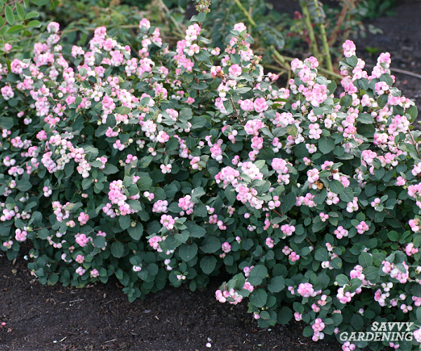 Pinky Promise snowberry in a garden