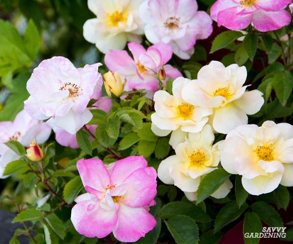peach lemonade rose