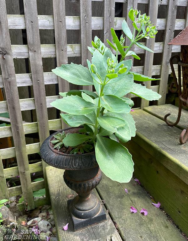 propagated sedum planted in a small urn