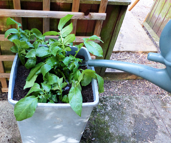 watering container potatoes