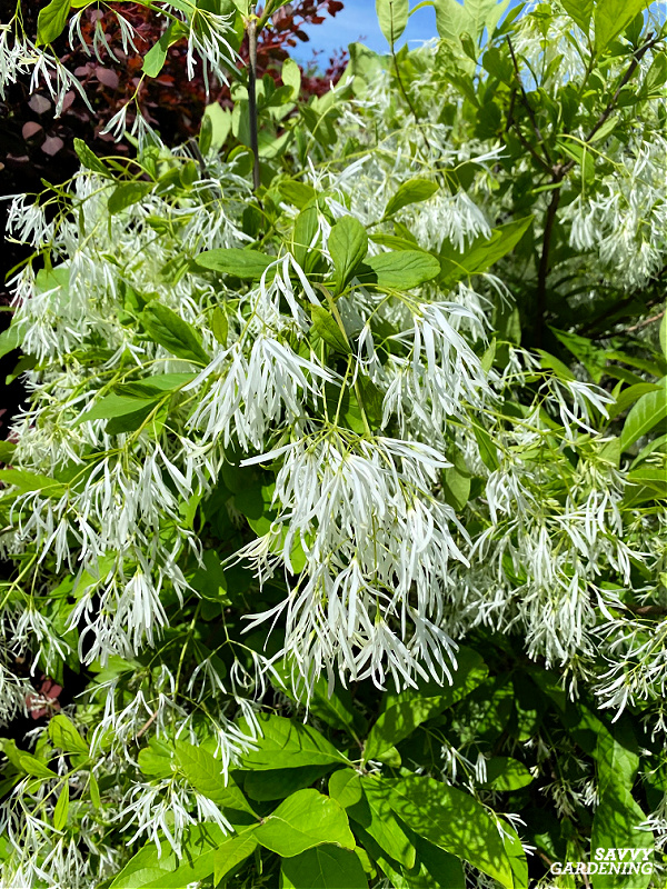 American fringe tree is a beautiful tree with white flowers