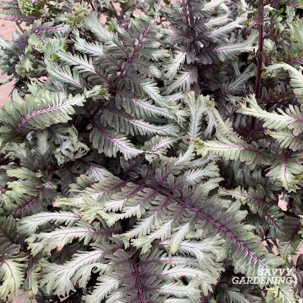 Plants for texture in the shade garden