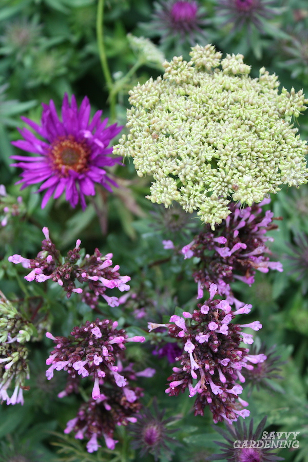 Where to plant Aster Purple Dome