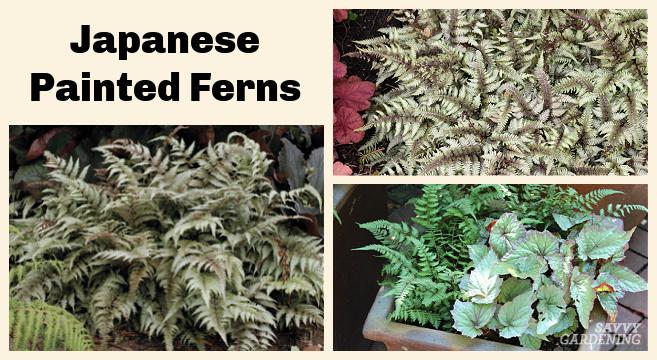 Best ferns for shade gardens
