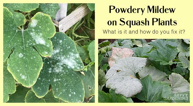 Common diseases of squash plants