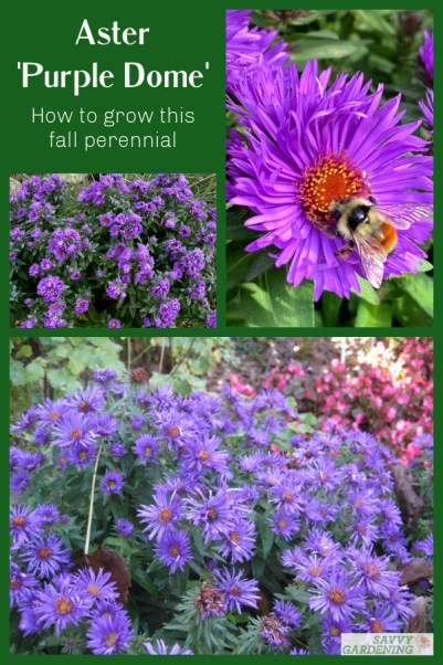 Tips for growing Aster Purple Dome in your fall garden