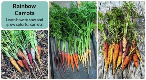 Rainbow carrots - the best varieties to grow