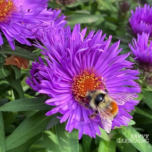 A late-blooming plant for pollinators