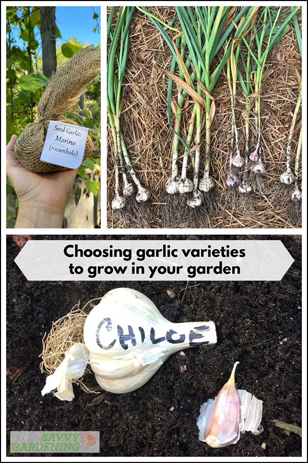 choosing garlic varieties to grow in your garden