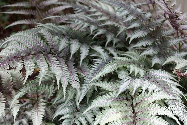 Perennial ferns for the shade