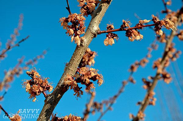 damaged fruit tree