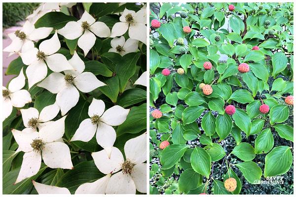 Kousa dogwood is a tree with white flowers