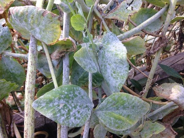 Pea plant disease