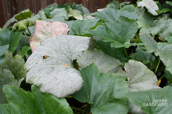 How to manage diseases on pumpkin plants