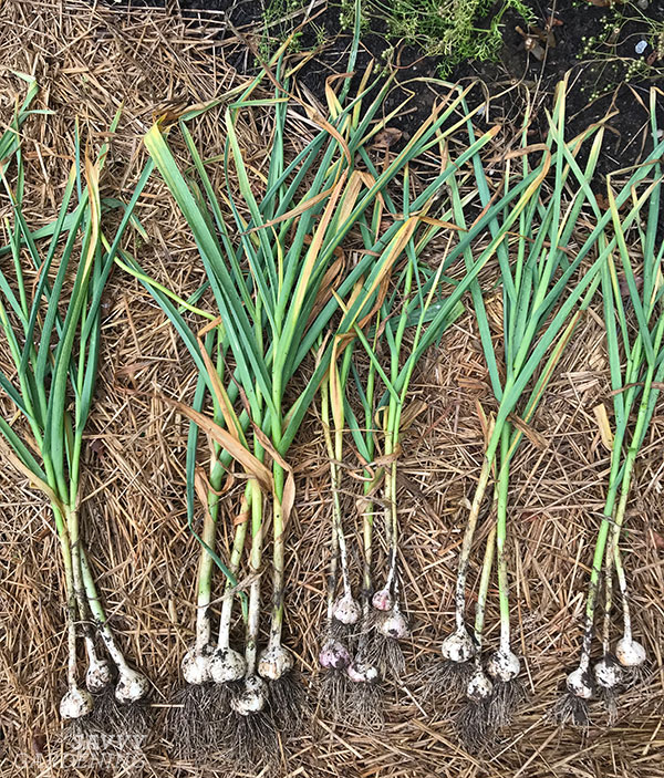 harvested garlic ready for drying
