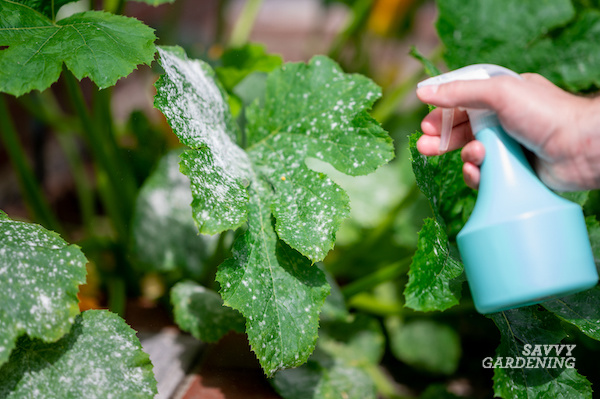 What to spray on zucchini to get rid of diseases