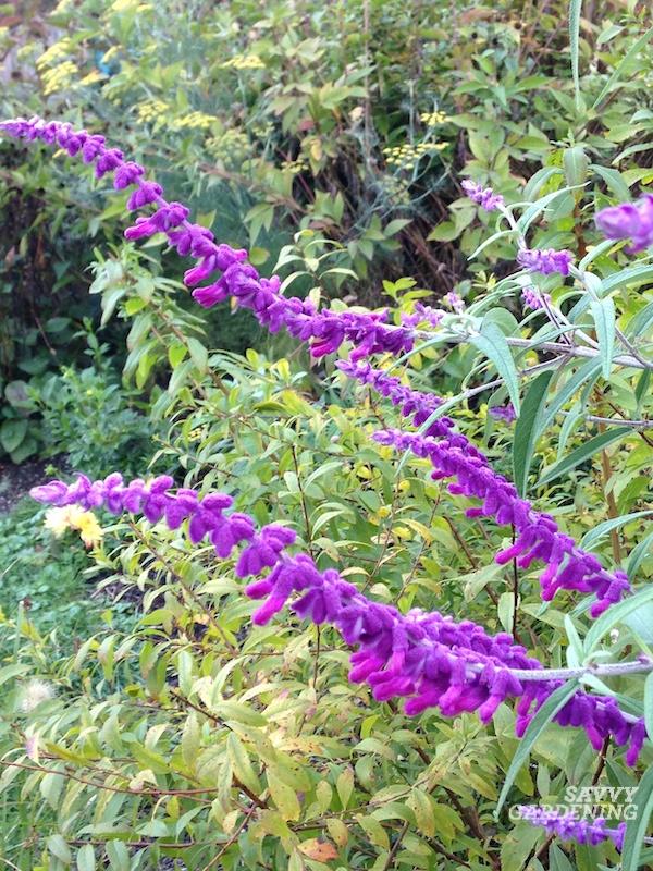 How to plant and grow bush sage