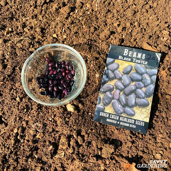 planting black bean seeds