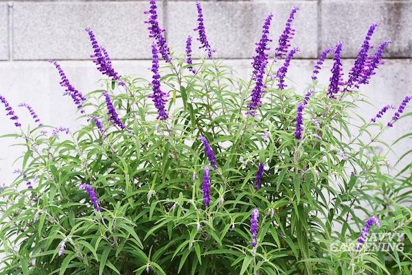 Santa Barbara Mexican Bush Sage: Tips for Growing