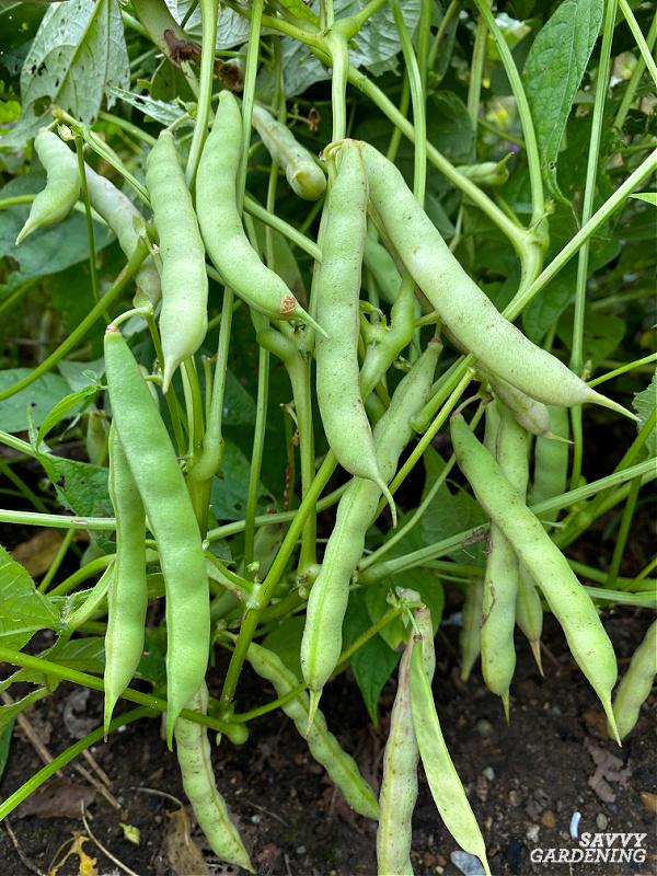 black bean plant