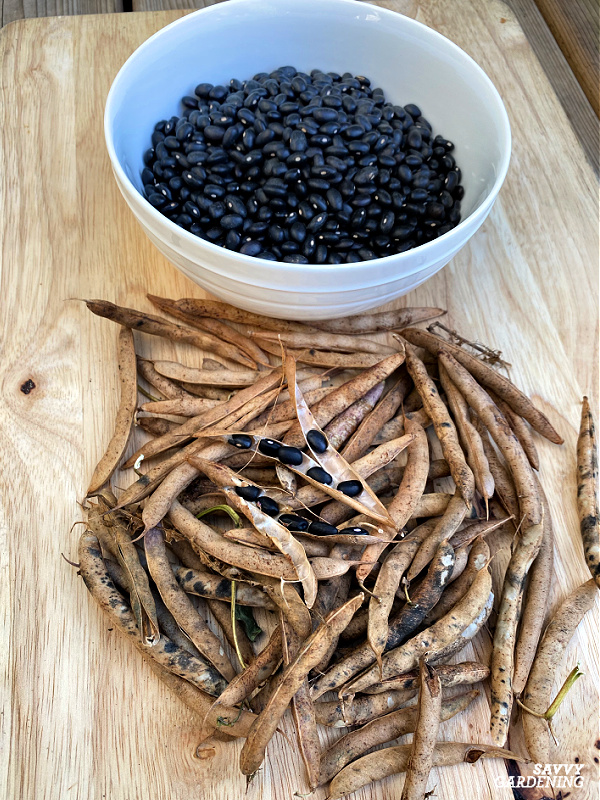 harvesting and shelling black beans