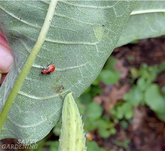 a small milkweed bug on milkweed