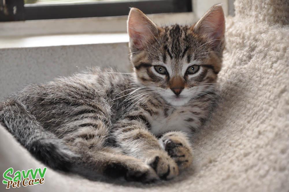 the glorious tabby cat