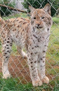 Did you know Lynx purr?  I didn't know until this little one caught me playing with the tigers and came over to get some attention.