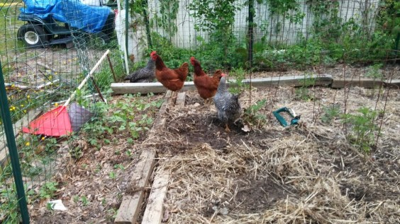 The chickens found their way into the garden!