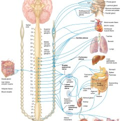 The Anatomy Of Anxiety Diagram Reading Control Wiring Diagrams Parasympathetic Ns Savy International Inc