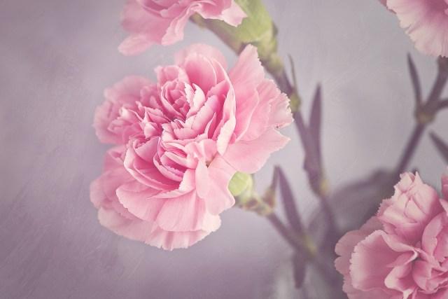ดอกคาร์เนชั่น สุขสันต์วันเกิด sawadd