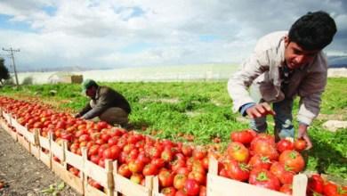 Photo of وزارة الزراعة : صور الطماطم المتداولة ليست اردنية