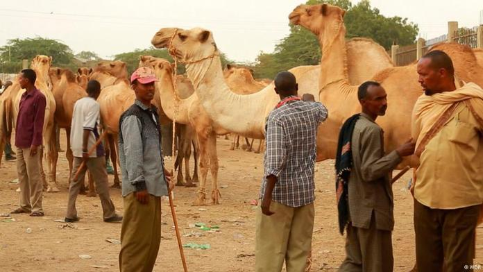 Camel trade is part of Somaliland's economy