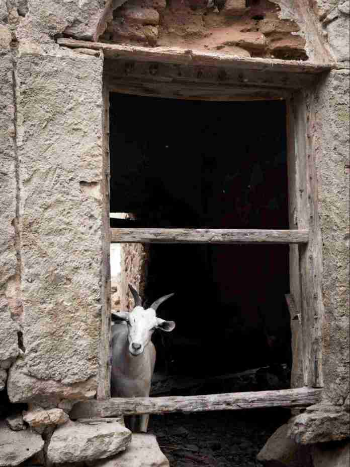 Funny Goats In Ruined Buildings Of Berbera | Saxafi
