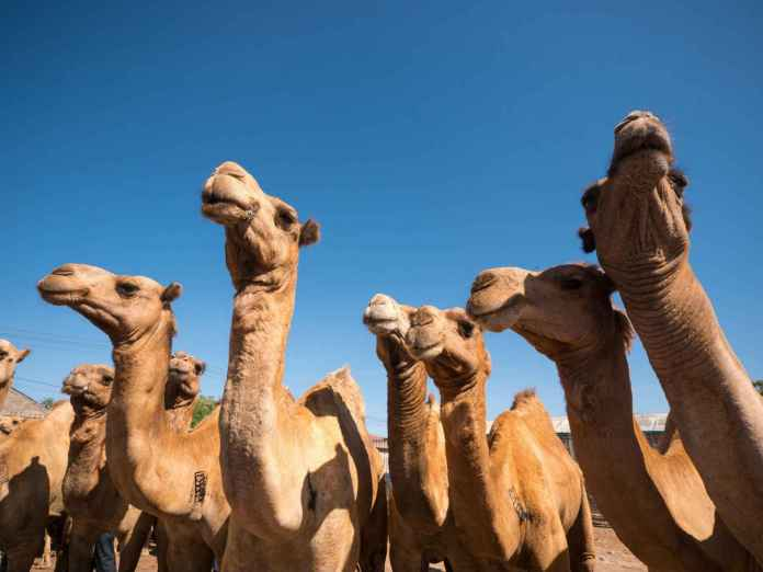 Somali Camels At The Livestock Market In Hargeisa | Saxafi