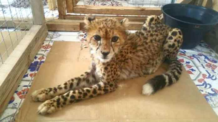 Cheetah Cub Rescued From Somaliland Traffickers Dies