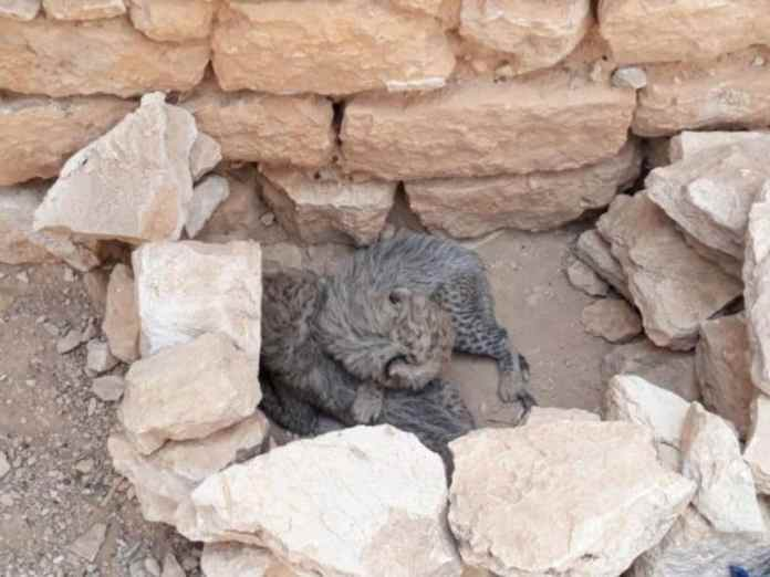 Cheetah Cub Smugglers Jailed For Three Years In Raid On Gulf Gateway