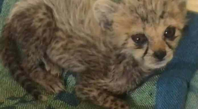 Aspinall Foundation Steps In To Help Nurse Critically Ill Cheetah Back To Health