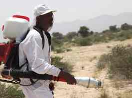 Desert Locusts Stealing Lives Fears Of Farmers, Herders In Somaliland As A Plague Looms