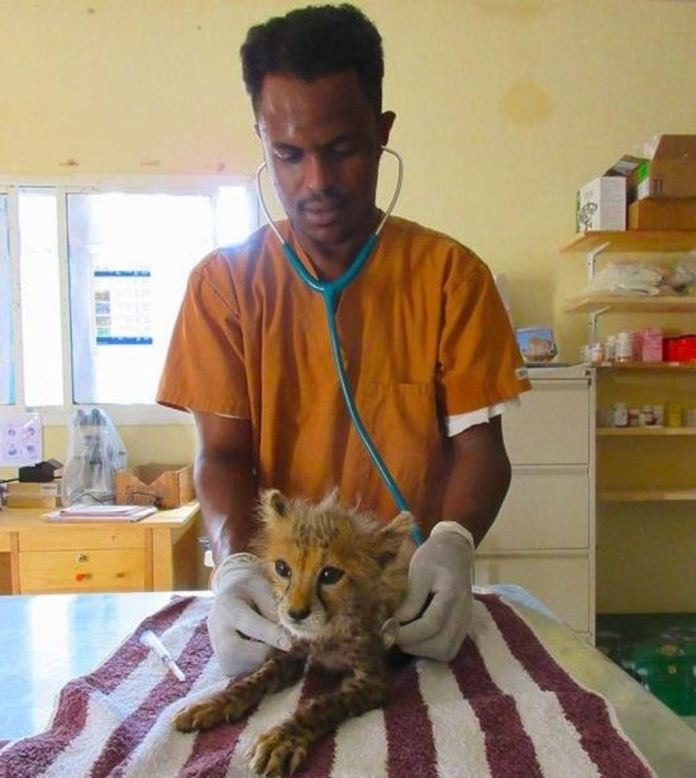 CCF Rescues One More Cheetah Cub In Somaliland