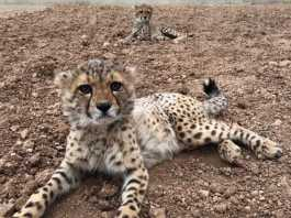 Somaliland Conflict And Illegal Trade Create A Cheetah Hell In The Horn Of Africa