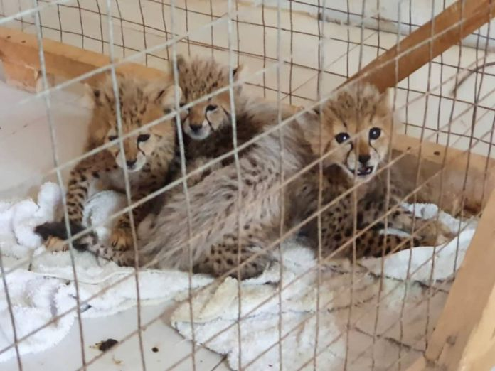 Somaliland Arrests 10 Suspects In Two Separate Cases Of Cheetah Trafficking